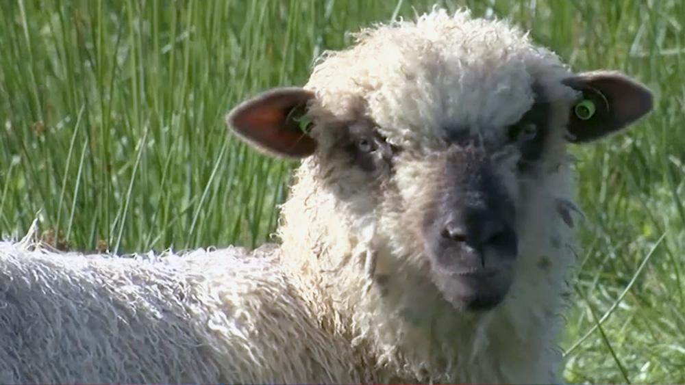 Kur aitas, tur cirpēji? Izrādās, ka nē
