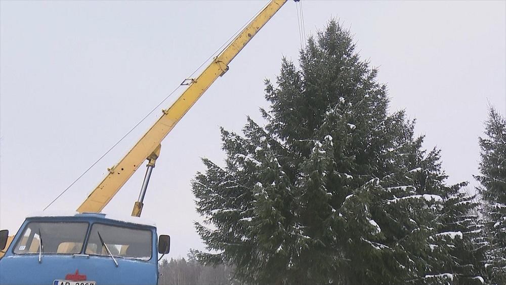 Viesītes apkārtnes mežā izvēlēta Jēkabpils pilsētas galvenā Ziemassvētku egle
