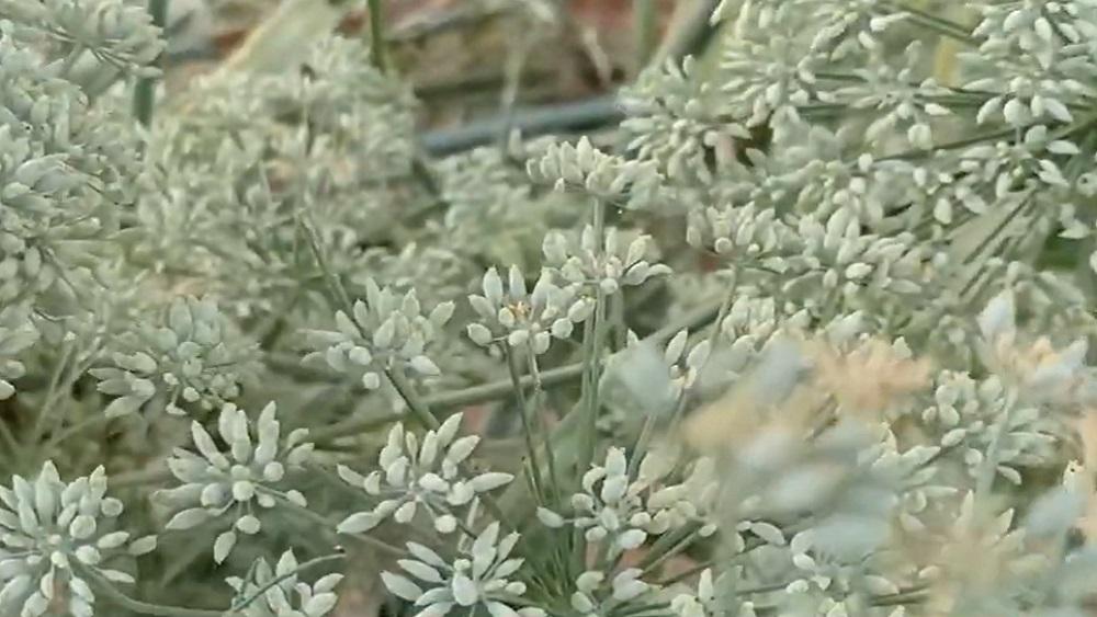 Latvijā izzūd parastā ķimene; to atzīst par gada augu