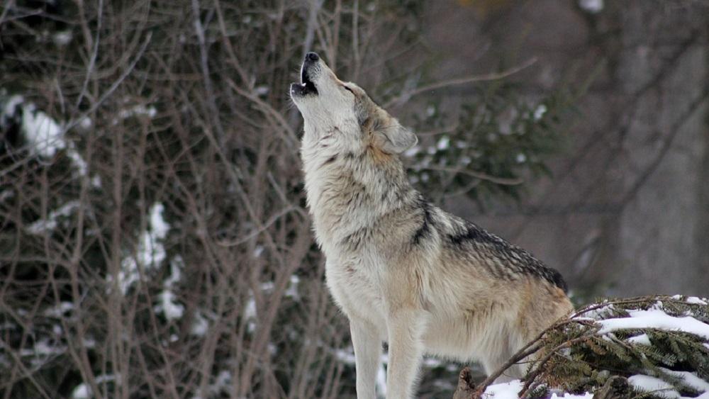 Vilki kļuvuši drošāki; tos sola skaitīt rūpīgāk