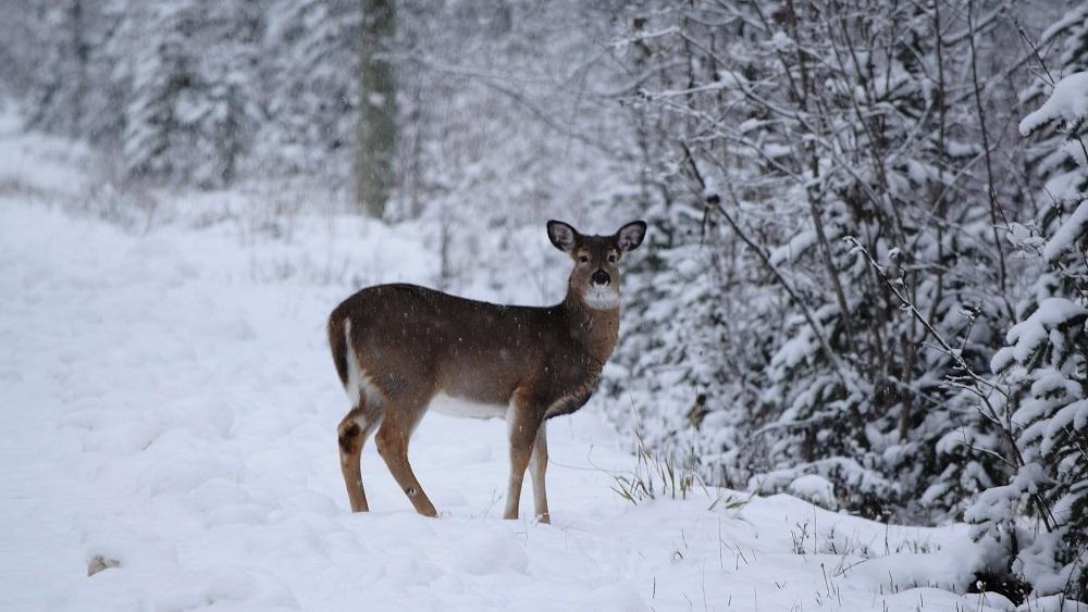 Bargākās ziemās meža zvēriem barotavas ir glābiņš