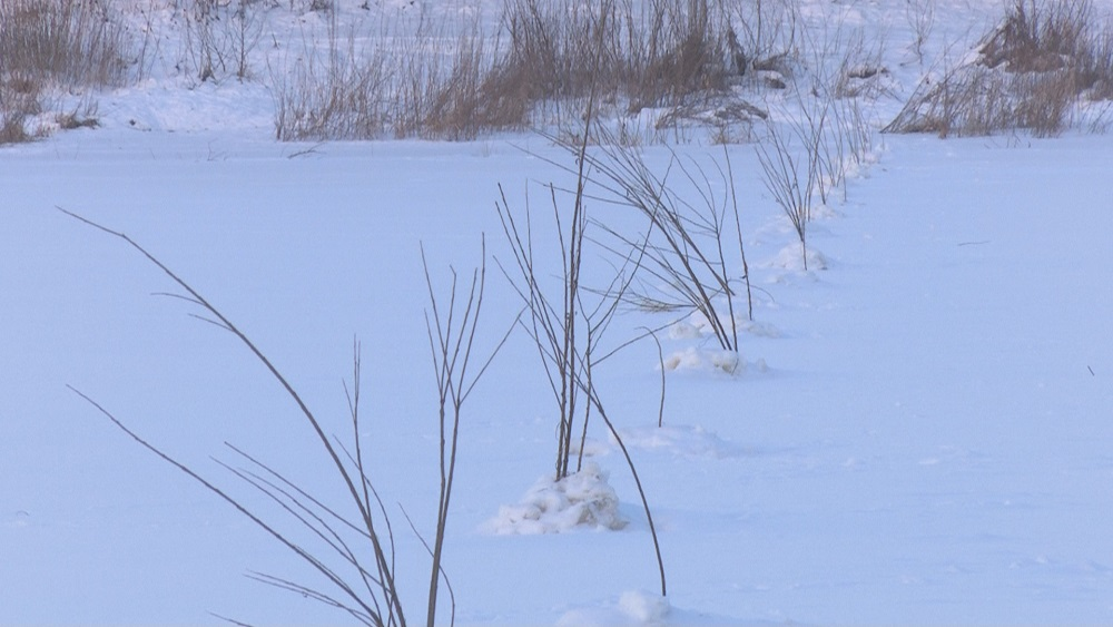 Daugavas ledū sasprausti zari mulsina iedzīvotājus