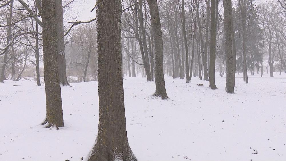 Krustpils pils parkā paredzēts nozāģēt 79 kokus