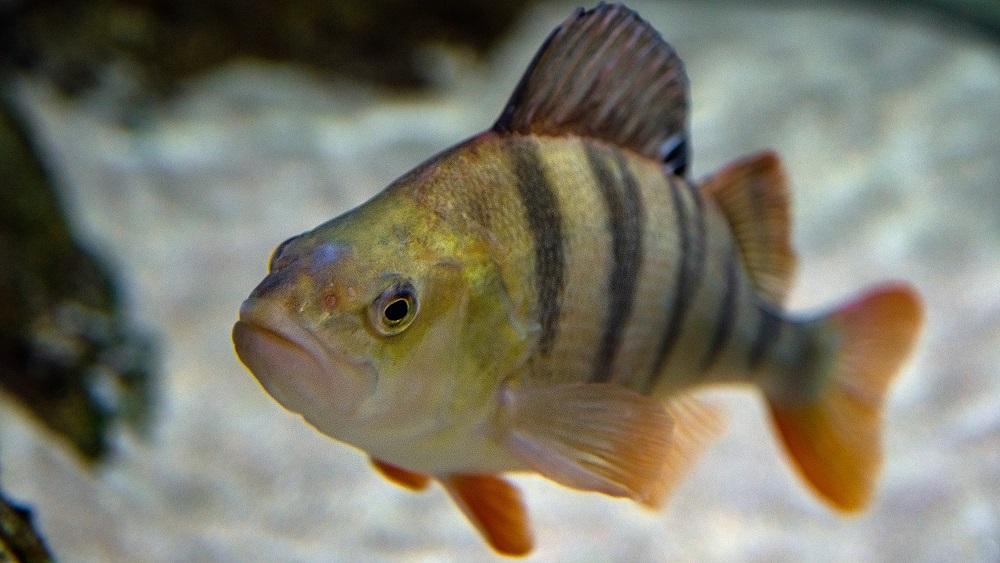 Daugavā ievietotas mākslīgās zivju nārsta ligzdas