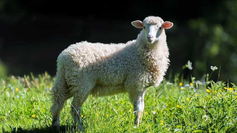 Mobilais ganāmpulks arī šogad Kaibalas salā