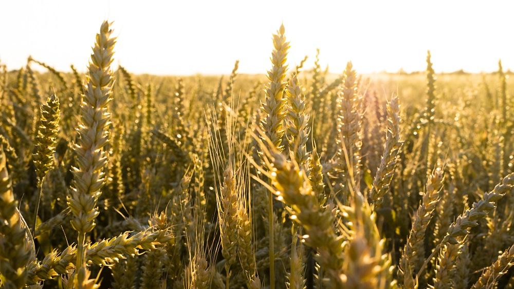 Latvijā sākas graudaugu novākšana