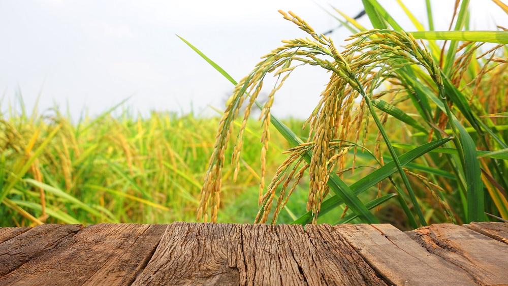 Latviešu zinātnieki uzrauga rīsu audzēšanu Vjetnamā