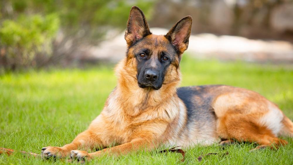 Latvijā popularitāti gūst suņu paklausības rallijs