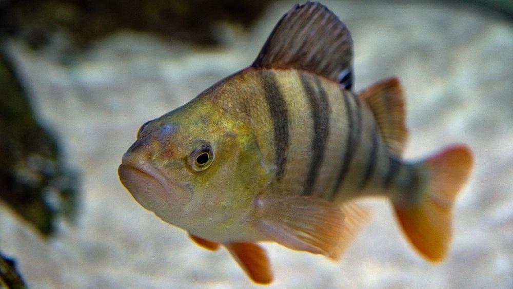 Latvijas iekšējos ūdeņos slāpst zivis