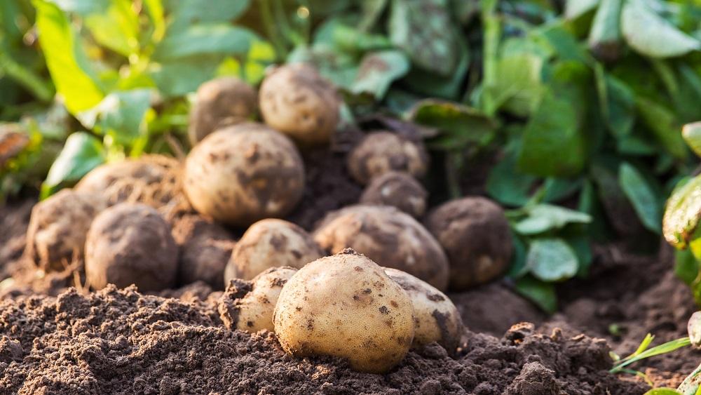 Šogad slikta raža kartupeļiem un graudaugiem - gaidāms cenu kāpums