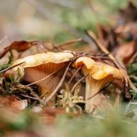 Temperatūrai pazeminoties, mežā atrast sēnes ir arvien grūtāk
