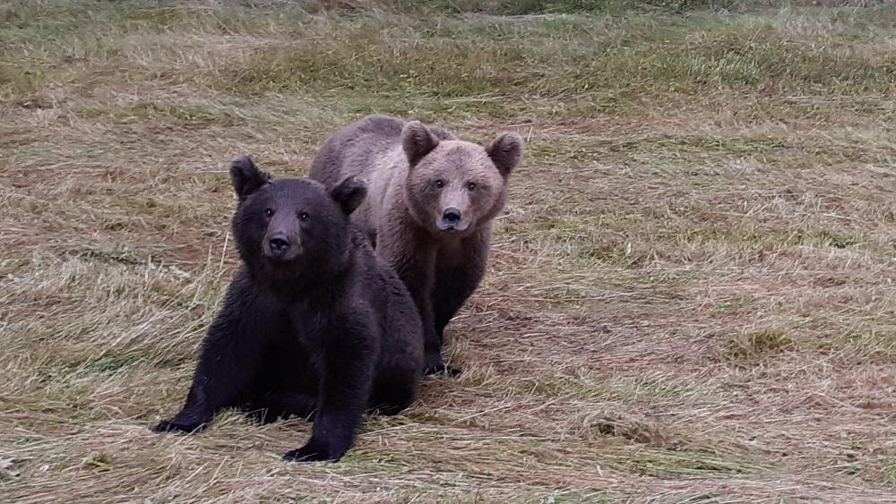 Iedzīvotāju domas par lāču nākotni Vijciemā dalās