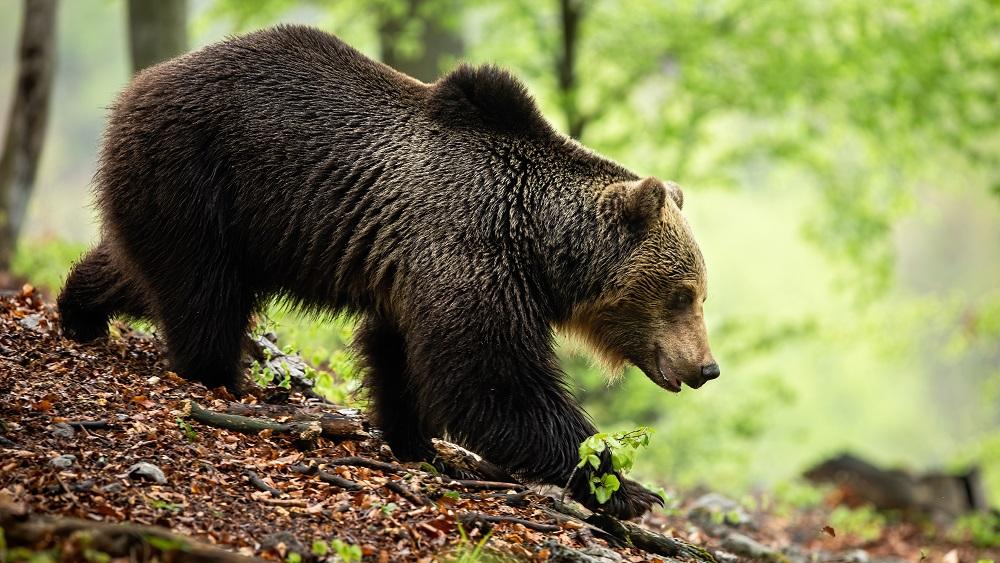 Eksperti meklē risinājumus lāču un cilvēku līdzās pastāvēšanai