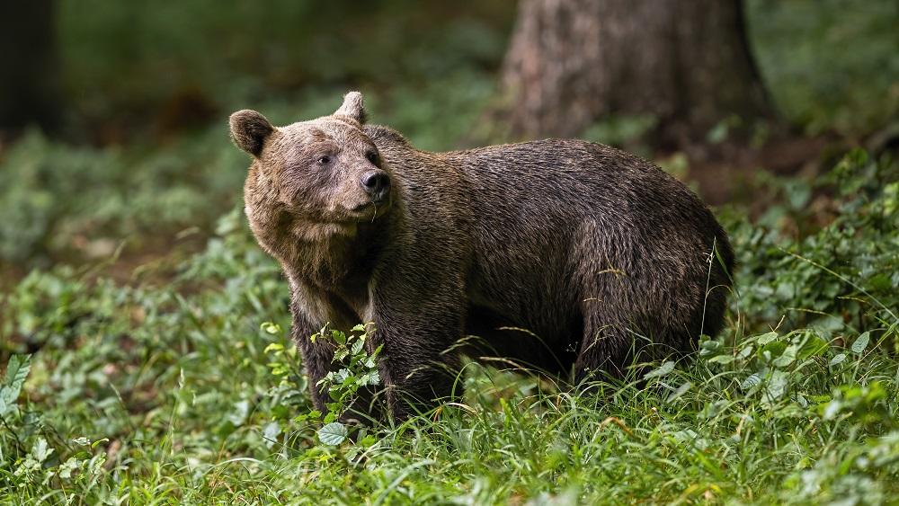 Sirojošos lāčus no pagalmiem Valkas novadā centušies aizbaidīt ar trokšņiem