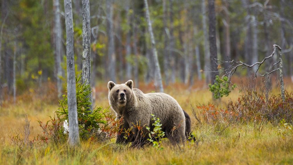 Ziemeļvidzemē sirojošos lāčus izšķirs un pārvietos savrupākās vietās