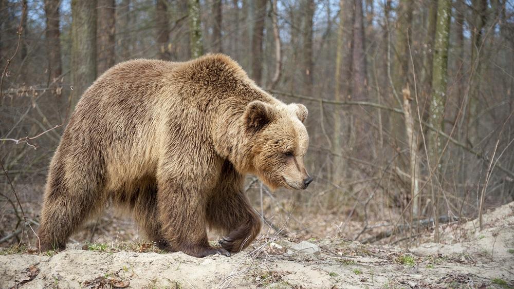 Lāču ķeršanas operācija turpinās - mēģina notvert, iemidzināt un izšķirt