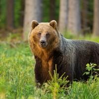 Lāču epopeja noslēgusies; veiksmīgi iemidzina un izšķir