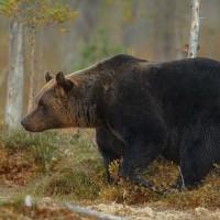 Mežu dzīvnieki kļūst drosmīgāki; lāču medības Latvijā nebūs atļautas vēl ilgi