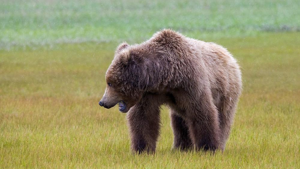 Pie kādas viensētas Valkas novadā divas dienas atkal plosījies lācis