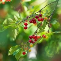 Lai saglabātu un popularizētu Latvijai raksturīgo šķirni, Straupē un Līgatnē top ķiršu dārzi